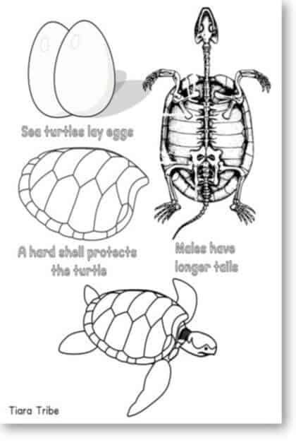 Sea turtle interesting facts coloring page